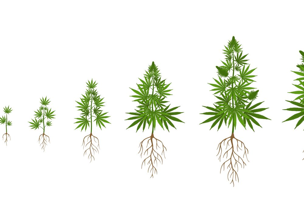 cannabis root medicine represented by diagram of growing plant