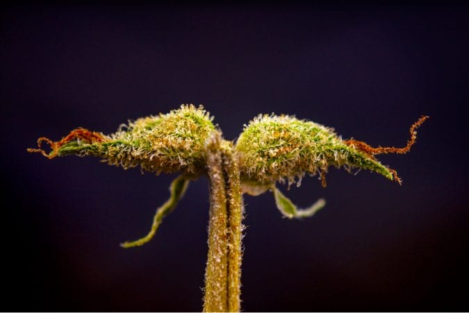 calyx of cannabis plant with visible trichomes