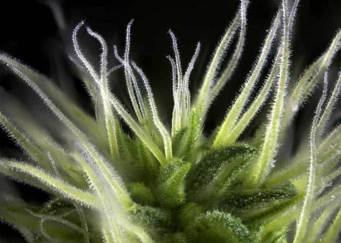 Close up of cannabis trichomes