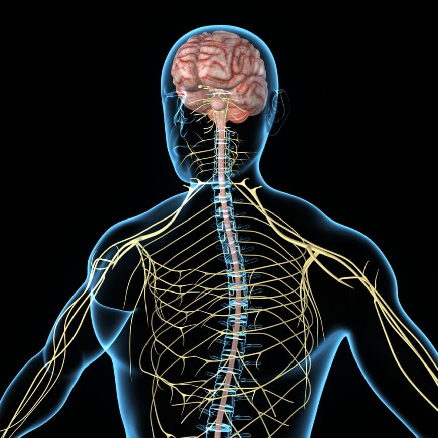 Central Nervous System 3D animation, this is where cb3 receptors are
