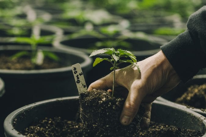 Baby Cannabis Plants being Potted