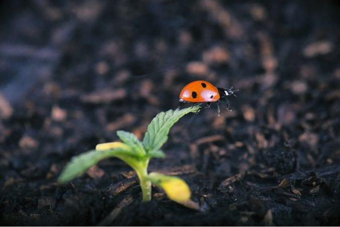 Lady bug crawling on baby cannabis plant