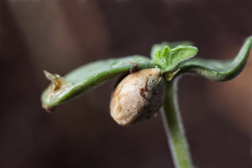 Cannabis Seedling, good for injured brain