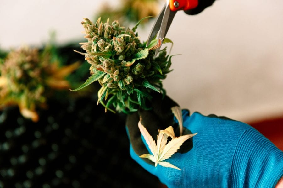Hands trimming bud