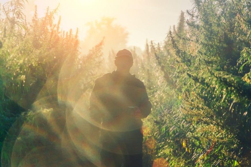 Sillhouette of a man on cannabis plantation