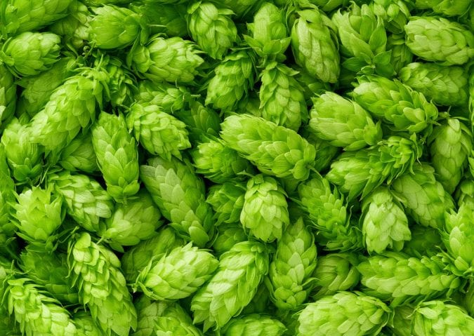 Close up of cut down hops