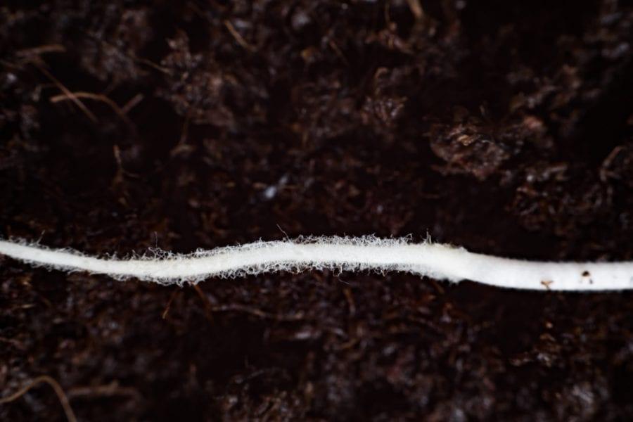 Cannabis Root