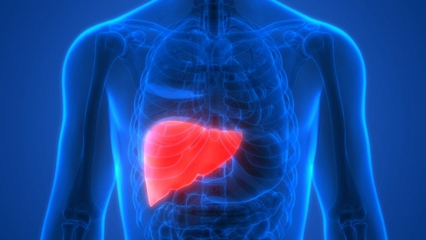 Liver in human body