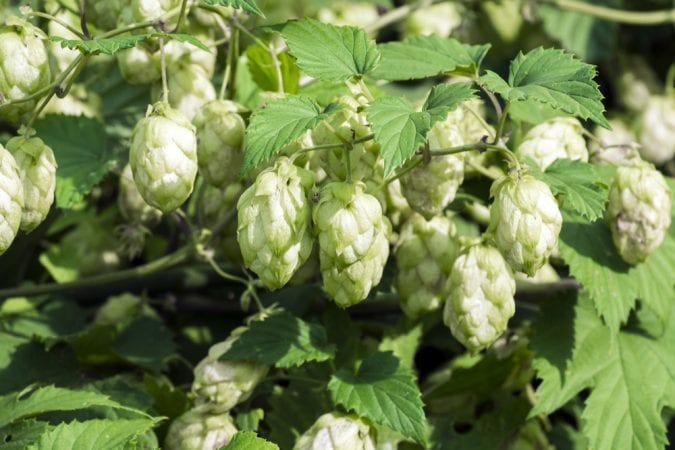 Close up of Hops