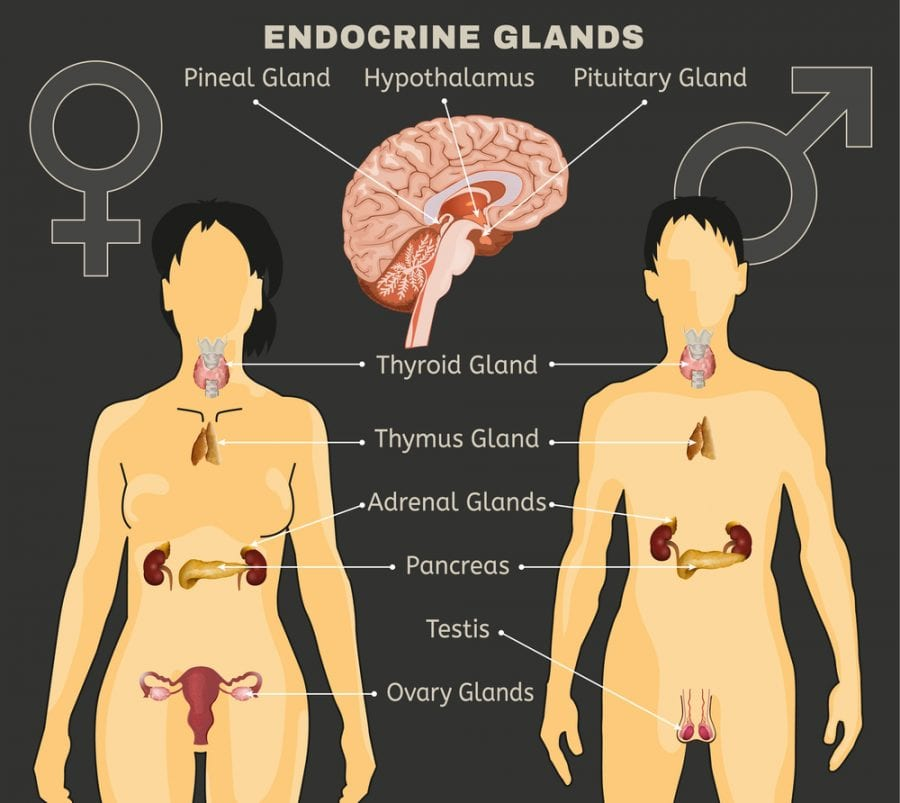 Side by side comparison of male and female endocrine systems