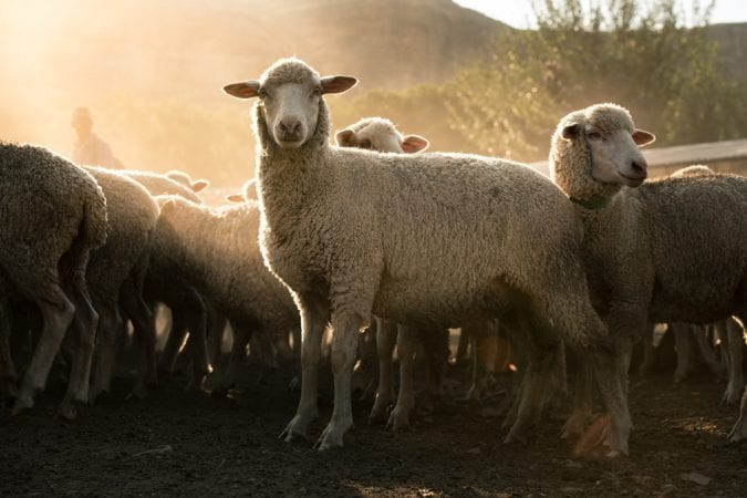 Sheep at dawn in hilly region