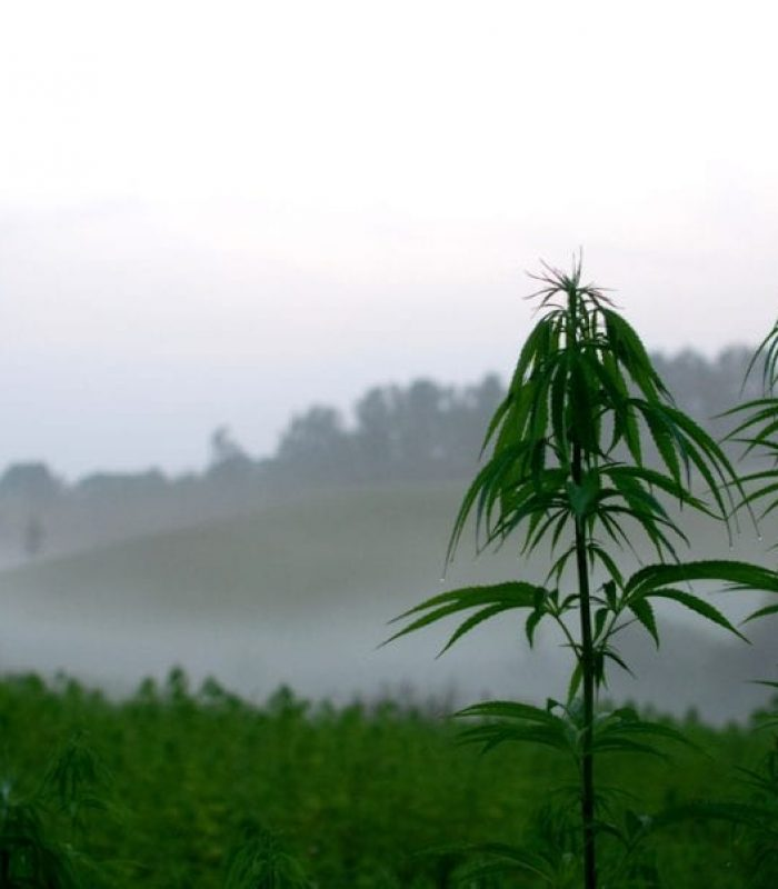 Hemp Cleans Up Radioactive Soil and So Much More