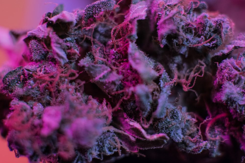 purple weed represented by purple tinged cannabis dried