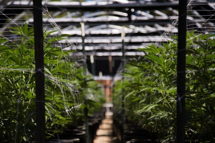 Cannabis Grow op indoor