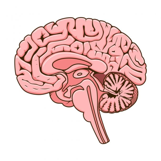 Cartoon image of a Cross Section of Human Brain