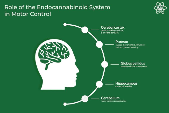 cannabis, CBD, THC, neurological diseases, ALS, Huntington's, Alzheimer's, brain, brain scan, endocannabinoid systems, CB1, CB2