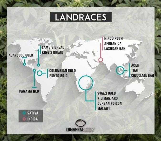 cannabis, landrace, strains, indica, sativa, hybrid, cannabinoids, trichomes, medical cannabis, terpenes