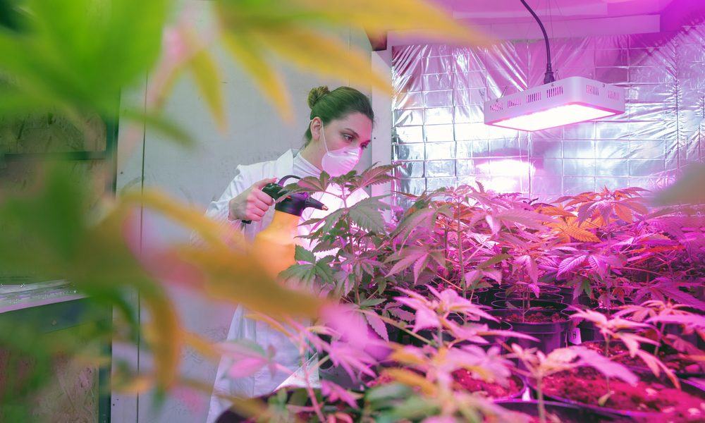 sativex patent represented by young researcher in greenhouse of cannabis