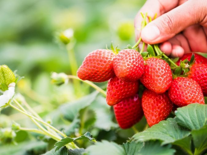 cannabis, strawberries, aromas, flavour profiles, terpenes, cannabinoids, entourage effect, health benefits, medical cannabis, legalization, Canada