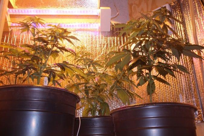dispensary, prescription, homegrow, Canada, cannabis, CBD, THC, recreational cannabis, legalization, cannabinoids,