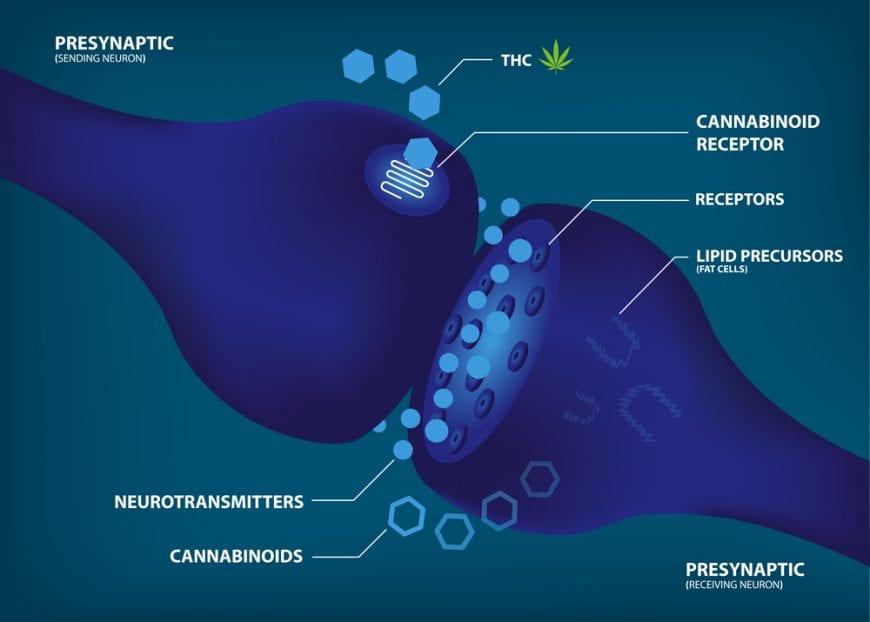 cannabis therapy, CBD, THC, cannabinoids, CB1, CB2, neurodegenerative diseases, brains, endocannabinoid system, endocannabinoid imbalance
