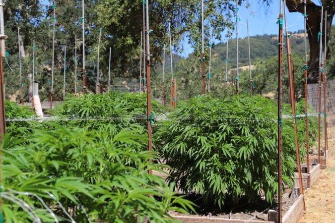 cannabis, cannabis strains, cannabis plants, cannabis breeding, landrace, landrace strains, genetics, strains, legalization, cannabinoids