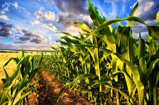 cannabis, yeast, yeast fermentation, CBD, THC, cannabinoids, research, GMO, DNA, genetic modification, corn