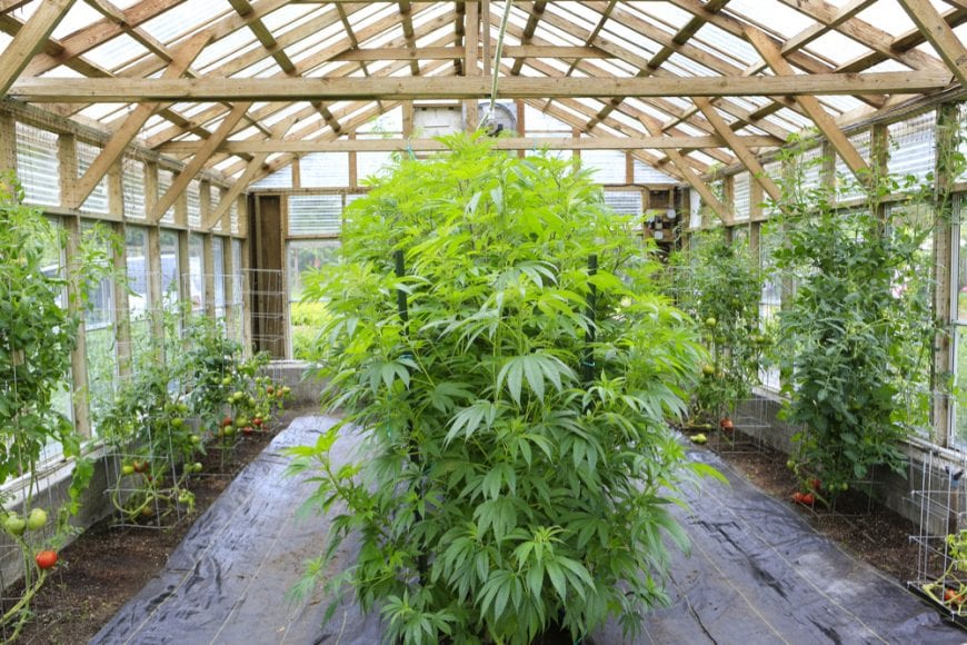 cannabis, home grow, cannabis field, medical cannabis, recreational cannabis, curing, drying, CBD, THC, cannabinoids, home grow cannabis