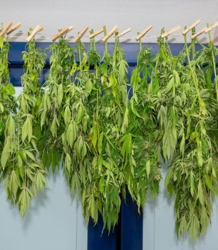 Drying and Curing Cannabis at Home: A Crash Course