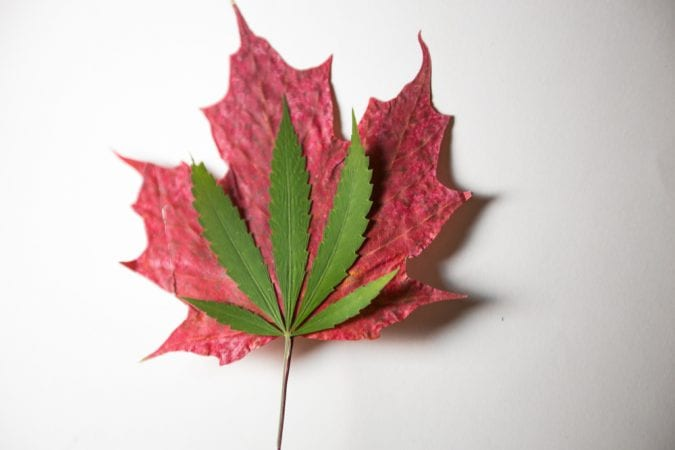 cannabis leaf resting on maple leaf