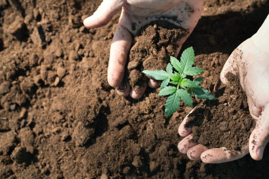 cannabis, CBD, THC, grow, cannabinoids, Canada, legalization, recreational, medicinal, cannabis oil