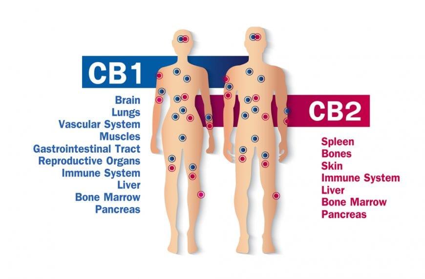 cannabis, recreational cannabis, medical cannabis, endocannabinoid system, immunity, immune system, CBD, THC, CB2 receptors, CB1 receptors