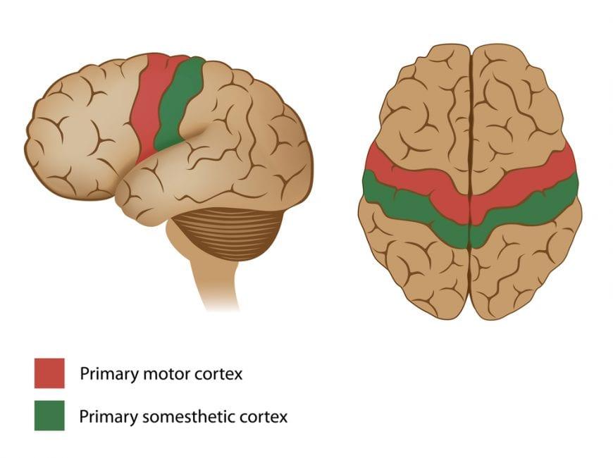 cannabis, brain, brain function, medical cannabis, recreational cannabis, research, THC, CBD, cannabinoids, endocannabinoid system, male