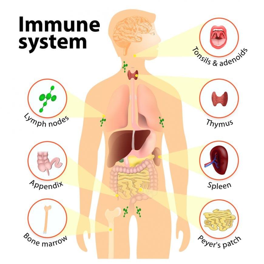 cannabis, recreational cannabis, medical cannabis, immune system, immune system, CBD, THC, CB2 receptors, endocannabinoid system, research