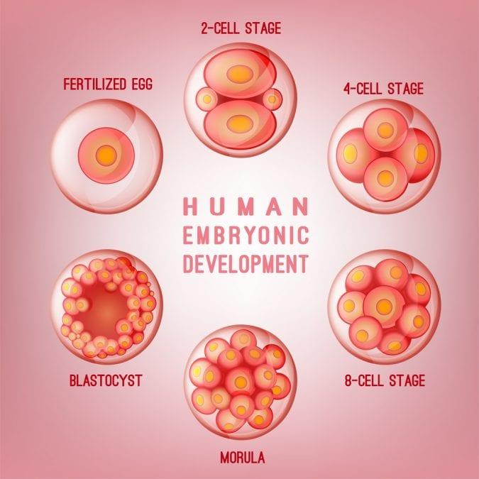 cannabis, CBD, THC, cannabinoids, endocannabinoid system, ovulation, maturation of eggs, follicular maturation, fertility, research