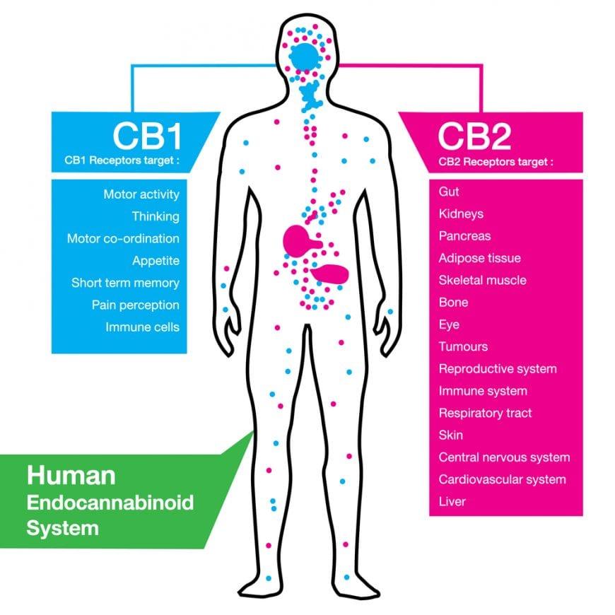 CB receptors