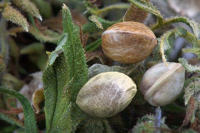 cannabis, hemp seeds, hempseed oil, amino acids, fatty acids, omega, health benefits, nutrients, legalization, medical cannabis