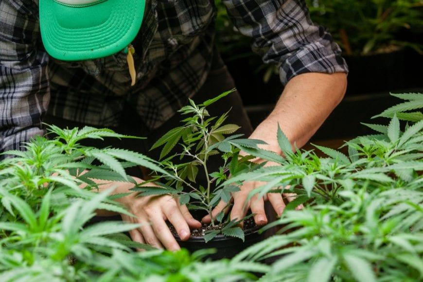 cannabis, hemp, hemp farmers, agriculture, farm bill, USA, tobacco, legalization, Canada, federal laws, industrial hemp