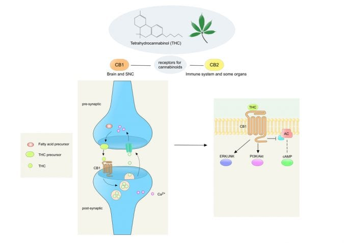 cannabis, cannabinoids, CB1 receptors, THC, CBD, neurotransmitters, neurons, medical cannabis, research, legalization, Canada, USA