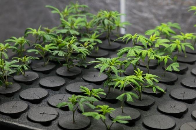 cannabis, medical cannabis, recreational cannabis, legalization, artisanal dispensaries, USA, Canada, industrial cannabis, craft cannabis, cannabis retailers