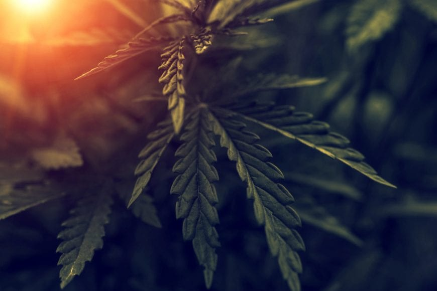 cannabis, opioids, pain killers, opioid epidemic, opioid addiction, legalization, shortages, supply, Canada, USA, addiction, crisis