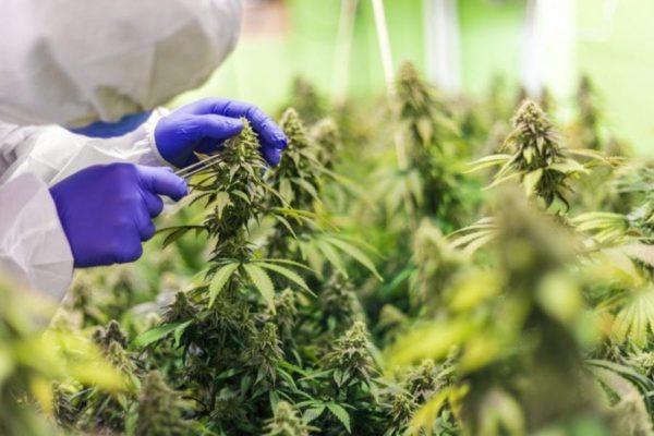 DEA, cannabis, cultivators, cannabis facilities, DEA application, medical cannabis, recreational cannabis, USA, federal approval, legalization, prohibition