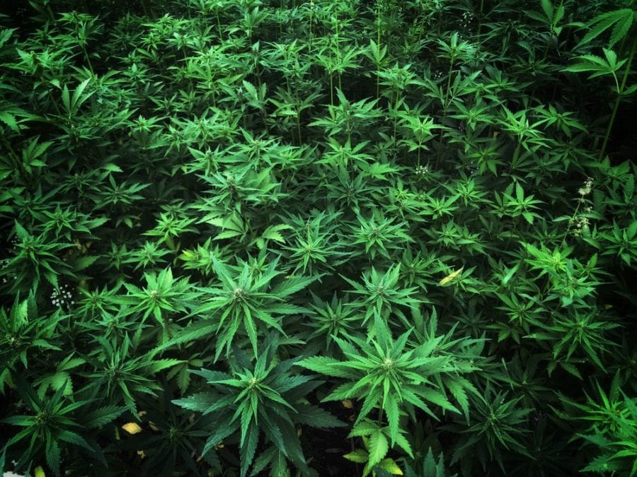 field of cannabis