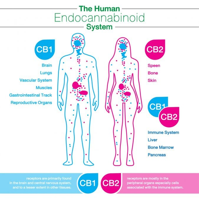 cannabis, medical cannabis, recreational cannabis, legalization, cannabinoids, endocannabinoid system, Dr Bob, Canada, USA, CB receptors