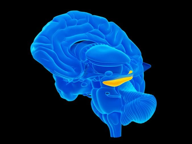 cannabis, medical cannabis, hippocampus, recreational cannabis, neuron, brains, brain regions, research, cannabinoids, studies