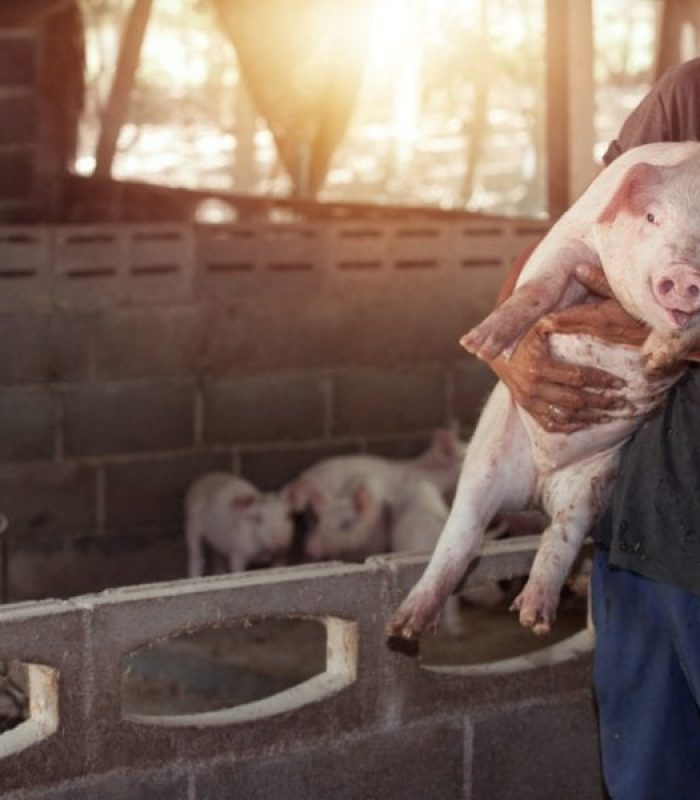 'Weed Pigs' Could Be A Delicacy Coming Soon To Your Local Farm Market