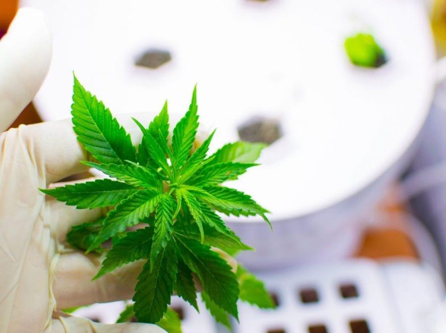 Aspergillus, mold, cannabis, medical cannabis, recreational cannabis, cannabis grows, contamination, fungus, health risks, legalization, mycotoxins, lab tesing