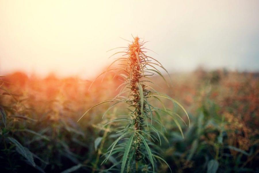 landrace, strains, cannabis strains, strain hunters, medical cannabis, cannabis, seed banks, cannabis plants, old school strains, CBD, THC
