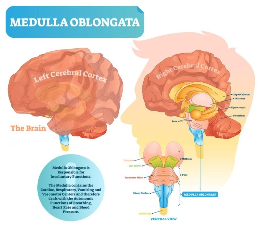 medulla oblongata, CHS, abdominal pain, nausea, cannabis, chili peppers, spicy, paranoia, vomiting, CBD, THC, dose