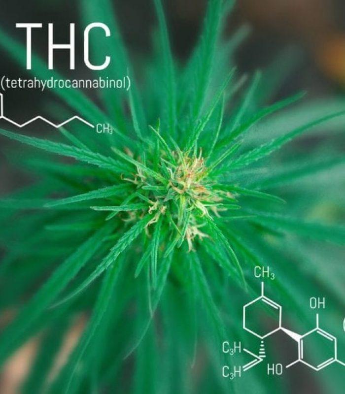 Balancing Act: CBD and THC Together